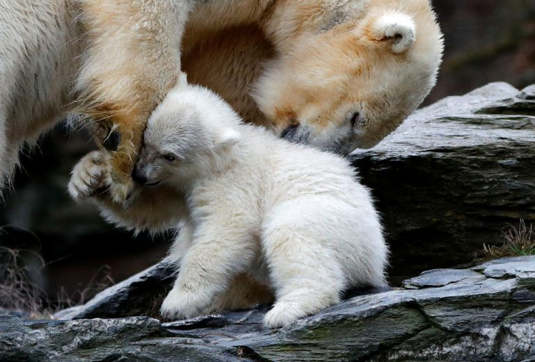 A female polar bear cub, born on December 1, 2018, is seen together with 9 year-old mother Tonja during her first official presentation for the media at Tierpark Berlin zoo in Berlin, Germany, March 15, 2019. REUTERS/Fabrizio Bensch