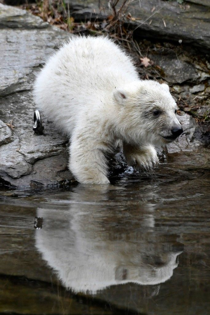 A polar bear cub enters the water at an enclosure as she is presented to the press after leaving the breeding burrow for the first time on March 15, 2019 at the Tierpark zoo in Berlin. - The cub, who does not have a name yet, was born on December 1, 2018. (Photo by John MACDOUGALL / AFP)