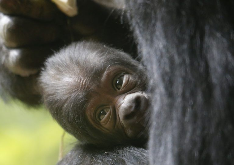 33 year old Gorilla mother Momo cuddles her two day old baby at the Zoo in Duisburg, Germany, Friday, May 29, 2015. (AP Photo/Frank Augstein)