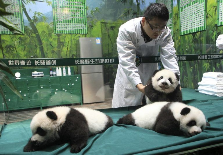 A feeder moves a giant panda cub in an enclosure as the panda triplets make their debut appearances to the public to celebrate their 100th days after birth, at Chimelong Safari Park in Guangzhou, Guangdong province November 5, 2014. The triplets was given birth by giant panda Juxiao (not pictured) at the park in July. The birth is seen as a miracle due to the low reproduction rate of giant pandas. REUTERS/China Daily (CHINA - Tags: ANIMALS TPX IMAGES OF THE DAY) CHINA OUT. NO COMMERCIAL OR EDITORIAL SALES IN CHINA