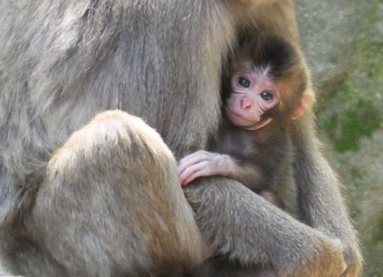 A female baby monkey named Charlotte is held by its mother at the Takasakiyama Natural Zoological Garden in Oita, southwestern Japan, in this photo taken by Kyodo May 8, 2015. The city, which manages the zoo, said on Friday it has decided not to rename the monkey even though the zoo had received more than 300 calls and email messages that protest or criticize its choice of the name, with some denouncing the move as