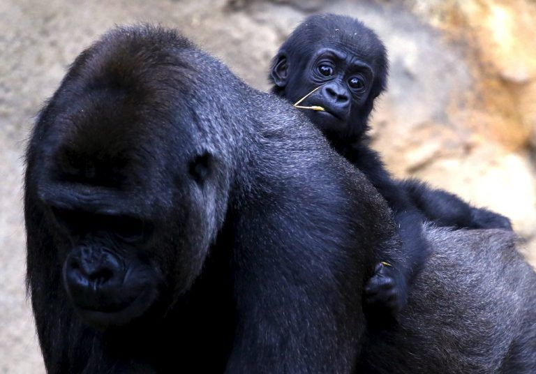 A Western Lowland Gorilla baby named 'Mjukuu', that was born in October last year, rides on the back of its Mother 'Mbeli' in their enclosure at Taronga Zoo in Sydney, Australia, May 19, 2015. Another baby gorilla (not pictured) was born six days ago, and is the second sired by the zoo's new Silverback, Kibali, who arrived from France in 2012. REUTERS/David Gray