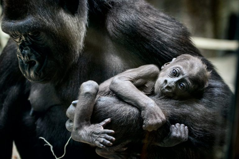 Baby Arlene is held by her mother Dara at the Como Zoo on Friday, May 8, 2015 in St. Paul, Minn. The 2 1/2 month old Western Lowland Gorilla made her debut at the zoo at the indoor exhibit of the Primate Building. The female gorilla was born on Feb. 22. (Glen Stubbe/Star Tribune via AP) MANDATORY CREDIT; ST. PAUL PIONEER PRESS OUT; MAGS OUT; TWIN CITIES LOCAL TELEVISION OUT