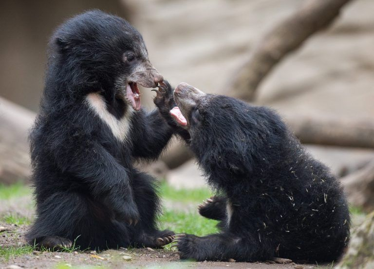 epa04733855 Two young sloth bears play in the zoo in Leipzig, Germany, 05 May 2015. In the past year, 912 animals were born in the zoo. EPA/LUKAS SCHULZE