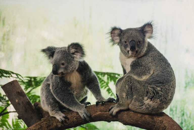 epa04757677 A picture made available 20 May 2015 shows Koalas on exhibit at the Singapore Zoo, Singapore, 19 May 2015. Four female koalas named Chan, Idalia, Paddle and Pellita arrived in Singapore on 13 April 2015 on loan from the Lone Pine Koala Sanctuary, in Brisbane, Australia, and will make Singapore Zoo their temporary home for the next six months. The koala exhibit opens to public on 20 May 2015. EPA/Tom White