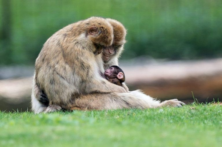 epa04767455 A one-day old barbary macaque (Macaca sylvanus) with its parents at their enclosure in Wroclaw's Zoo in Wroclaw, Poland, 25 May 2015. The Barbary macaque is of particular interest because males play an atypical role in rearing the young. Despite uncertain paternity, males are integral to raising infants. EPA/MACIEJ KULCZYNSKI POLAND OUT