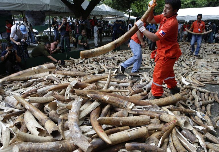 FILE - In this June 21, 2013 file photo, workers prepare seized elephant tusks to be crushed by a backhoe during a destruction ceremony at the Protected Areas and Wildlife Bureau of the Department of Environment and Natural Resources in Quezon city, northeast of Manila, Philippines. The London-based Environmental Investigation Agency said Thursday, Nov. 6, 2014 Chinese officials used a state trip by Chinese President Xi Jinping and other high-level visits to smuggle ivory out of Tanzania. In a report the environmental watchdog says Chinese-led criminal gangs conspired with corrupt Tanzanian officials to traffic huge amounts of ivory, some of which was loaded in diplomatic bags on Xi's plane during a presidential visit in March 2013. (AP Photo/Bullit Marquez, File)