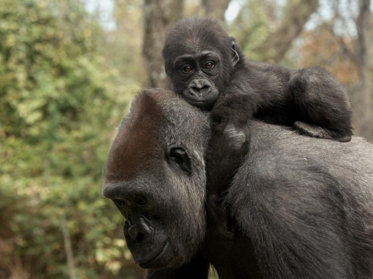 In this April 13, 2015, photo provided by the Wildlife Conservation Society, an infant lowland gorilla clings to its mother's neck at the Bronx Zoo in New York. The zoo is introducing two new baby western lowland gorillas to the public. (Julie Larsen Maher/Wildlife Conservation Society via AP)