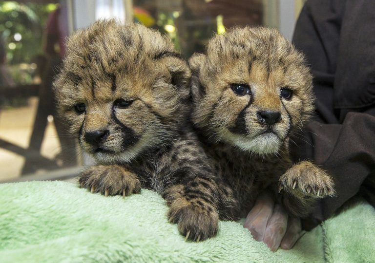 In this photo provided by the San Diego Zoo Safari Park, two female cheetah cubs rest after a bottle feeding at the San Diego Zoo Safari Park's Animal Care Center in Escondido, Calif., Friday, Sept. 19, 2014. The cubs are being hand raised by animal care and receive round-the-clock care, which includes bottle feedings every few hours. The cubs were born Sept. 1 to their mother, Allie, who was unsuccessful in raising her previous litter. (AP Photo/San Diego Zoo Safari Park, Ken Bohn)