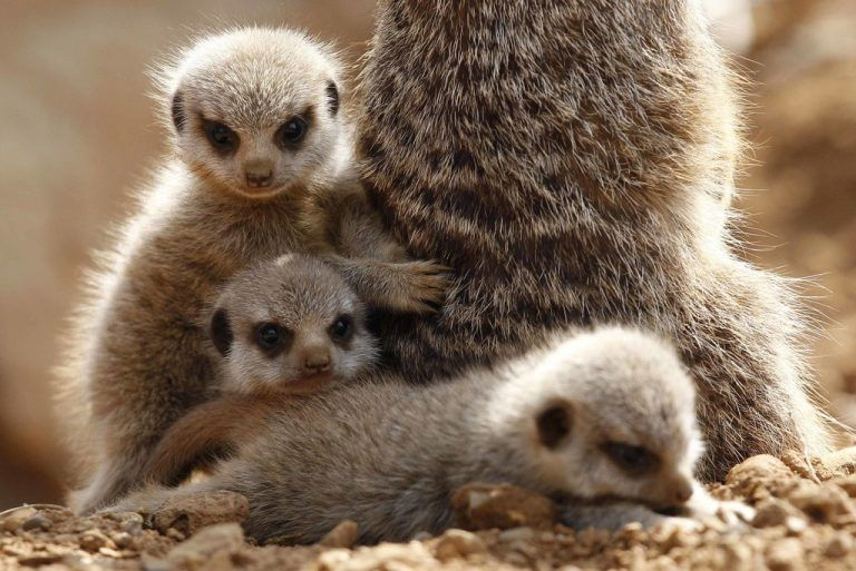 Three baby Meerkats cuddle up to their mother in their enclosure at Chester Zoo in Chester, northern England April 16, 2010. The three week old babies have gone on show to the public for the first time after spending their first weeks of life underground in their burrow. REUTERS/Phil Noble (BRITAIN - Tags: ENVIRONMENT SOCIETY)