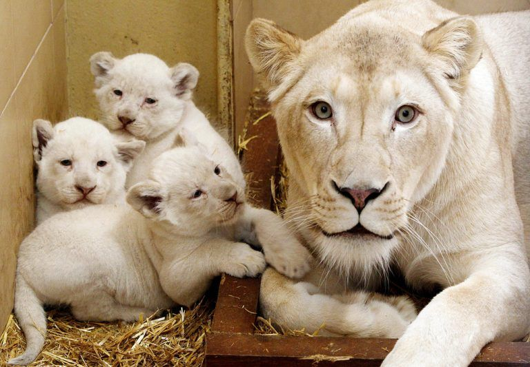 Three baby white lions with their mother, Azira sit in their enclosure at a private zoo in Borysew, Poland, on Tuesday, March 11, 2014. Born Jan.28, They will be let out into the open air in April and will be available for visitors to see in May. (AP Photo/Czarek Sokolowski)