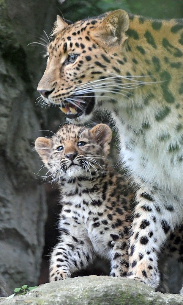 The baby Amur leopard Akeno walks together with his mother Mia and his brother (Unseen) through the inclosure in the Zoo in Leipzig, eastern Germany on July 7, 2017. / AFP PHOTO / dpa / Hendrik Schmidt / Germany OUT