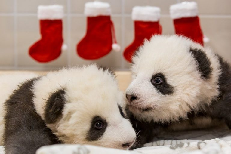 CORRECTION - This handout picture released by the Zoo Berlin shows Berlin's still unnamed giant panda cubs in their Panda bed at the Zoologischer Garten zoo in Berlin on December 5, 2019. - On loan from China, Meng Meng and male panda Jiao Qing arrived in Berlin in June 2017. While the cubs are born in Berlin, they remain Chinese and must be returned to China within four years after they have been weaned. (Photo by Handout / various sources / AFP) / RESTRICTED TO EDITORIAL USE - MANDATORY CREDIT