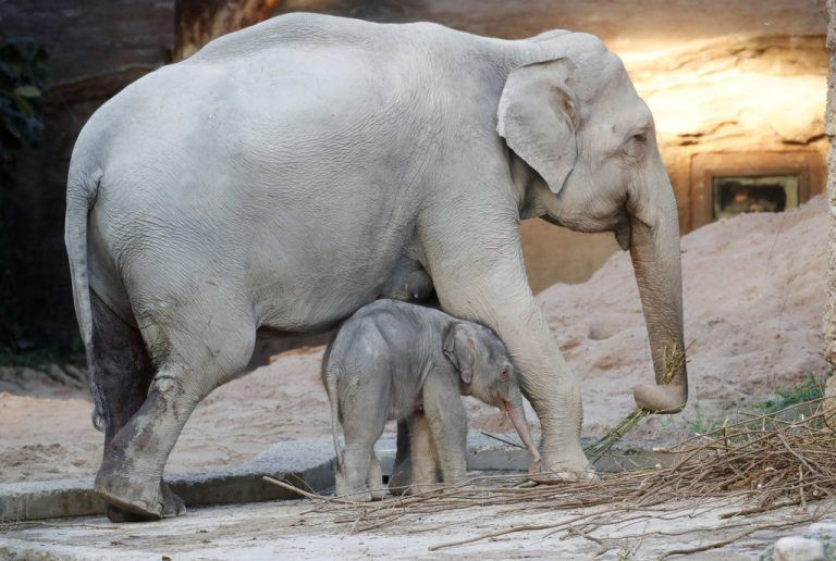 Two-day-old male baby elephant Umesh walks between its thirty-four-year-old mother Indy in the Kaeng Krachan Elephant Park at the zoo in Zurich, Switzerland February 6, 2020. REUTERS/Arnd Wiegmann