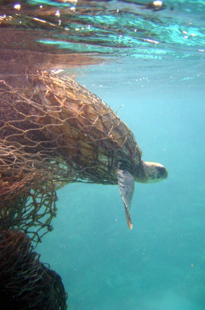 In this photo provided by the National Oceanic and Atmospheric Administration, a Green Turtle is entangled in a ghost net, also known as derelict fishing nets, along the Northwestern Hawaiian Islands in 2002. When President Bush announced the formation of the Northwestern Hawaiian Islands National Marine Monument June 15, 2006, it was hailed by ocean advocates and others as a landmark action by an administration not known for its environmental deeds. Yet a trash problem that has plagued the area since before its monument status has only gotten worse since Bush signed the proclamation prohibiting